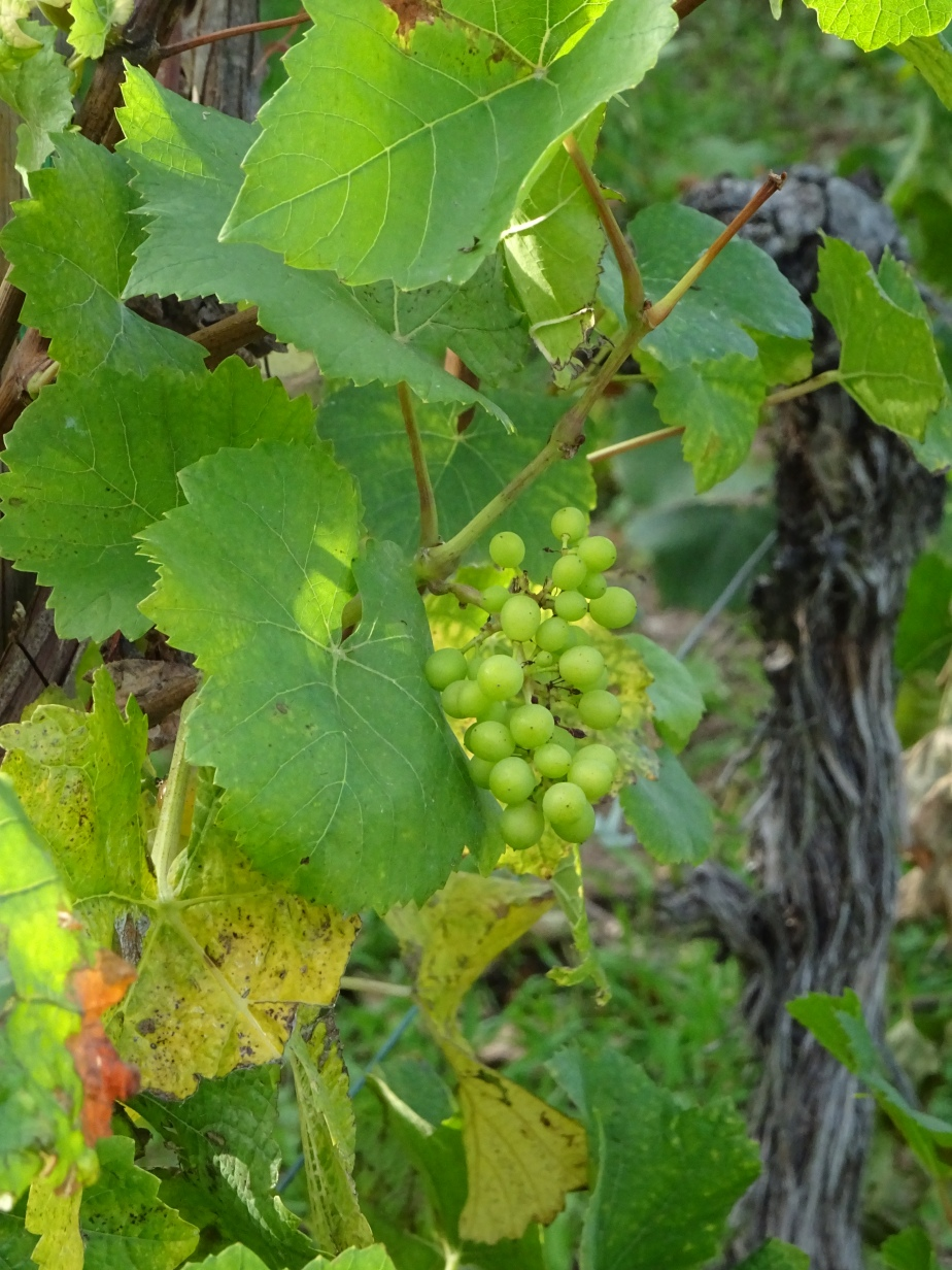 Domaines Vinsmoselle auLuxembourg